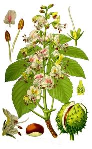 Marronnier d'Inde (Aesculus hippocastanum L.)