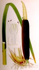 Massette à larges feuilles (Typha latifolia L.)