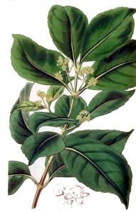 Maté (Ilex paraguariensis)