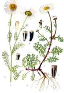 Matricaire inodore (Matricaria maritima L.)