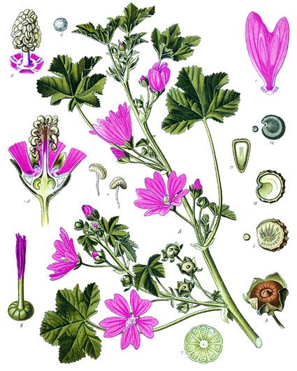 Wilde mauve 40 graines de durable culture Malva sylvestris