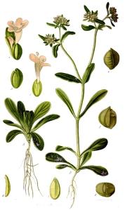 Mâche (Valerianella olitoria L.)