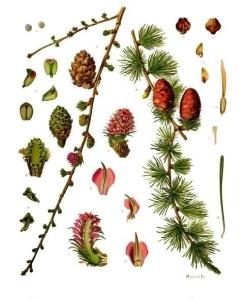 Mélèze (Larix decidua)