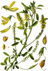 Mélilot (Melilotus officinalis)