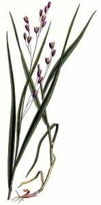 Mélique à une fleur (Melica uniflora)