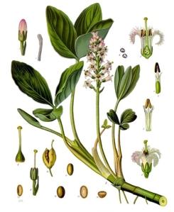Ményanthe (Menyanthes trifoliata L.)