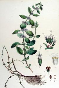 Menthe des champs (Mentha arvensis)