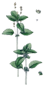 Mercuriale annuelle (Mercurialis annua L. )