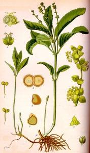 Mercuriale vivace (Mercurialis perennis L.)