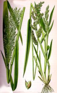 Millet (Panicum miliaceum)