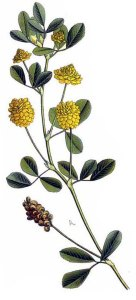 Minette (Medicago Lupulina L.)