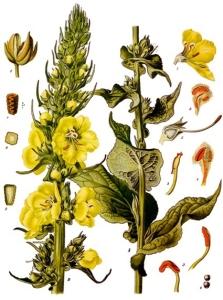 Molène Bouillon-blanc (Vesbascum Thapsus L.)