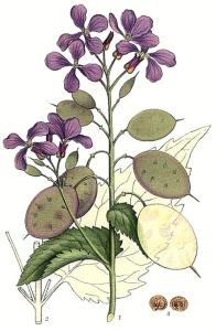 Monnaie du pape vivace (Lunaria rediviva)