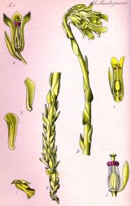 Monotrope suce-pin - (Monotropa hypopitys)