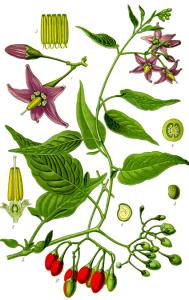 Morelle douce-amère (Solanum dulcamara L.)