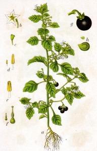 Morelle noire (Solanum nigrum L.)