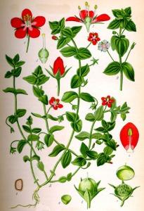 Mouron rouge (Anagallis arvensis L.)