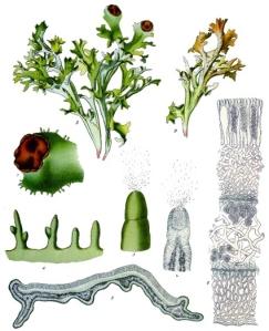 Mousse d'Islande (Cetraria islandica)