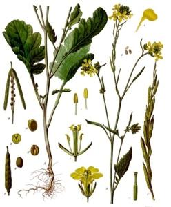 Moutarde (Brassica Nigra)