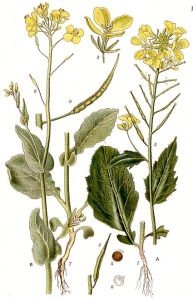 Moutarde des champs (Sinapsis arvensis L.)