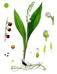 Muguet (Convallaria majalis)