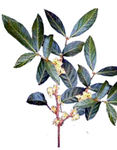 Muira puama (Ptychopetalum olacoides)