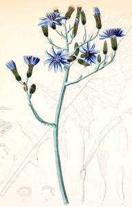 Mulgédie de plumier (Cicerbita plumieri)