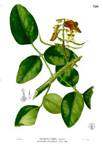 Mulungu (Erythrina verna)
