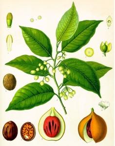 Muscade (Myristica fragrans)
