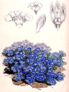Myosotis des neiges (Eritrichium nanun)