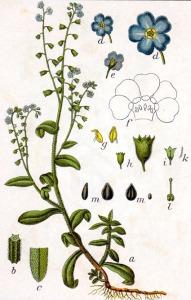 Myosotis (Myosotis alpina)