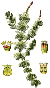 Myriophylle en épie (Myriophyllum spicatum L.)
