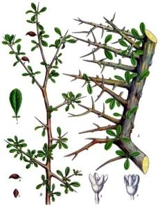 Myrrhe (Commiphora myrrha)