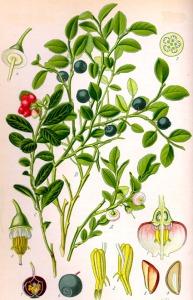 Myrtille (Vaccinium myrtillus)