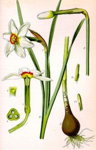 Narcisse des poètes - (Narcissus poeticus)