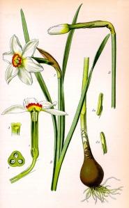 Narcisse (Narcissus pseudonarcissus)