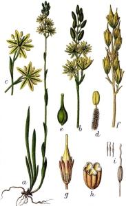 Narthécie des marais (Narthecium ossifragum)