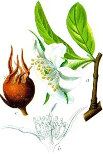 Néflier (Mespilus germanica)