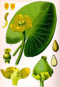 Nénuphar jaune (Nuphar lutea L.)