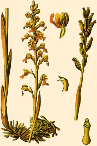 Néottie nid-d'oiseau (Neottia nidus-avis)