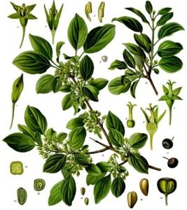 Nerprun (Rhamnus cathartica)