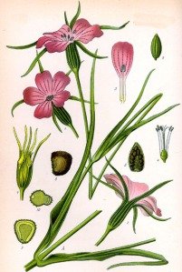 Nielle des blés (Agrostemma githago L.)