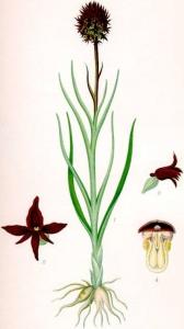Nigritelle noire (Nigritella nigra L.)