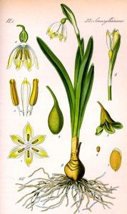Nivéole printanière - (Leucoium vernum)