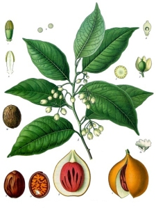 Noix du Muscadier (Myristica fragrans)