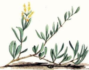 Obione (Halimione portulacoides L.)
