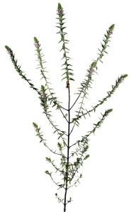 Odontite tardive (Odontites serotina L.)