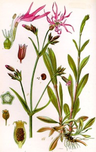 Oeillet des prés - (Lychnis flos-cuculi)