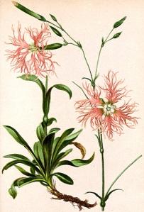 Oeillet superbe - (Dianthus superbus)