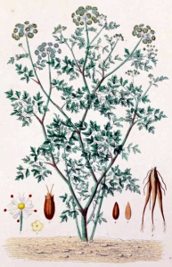 Oenanthe safranée (Oenanthe crocata L.)